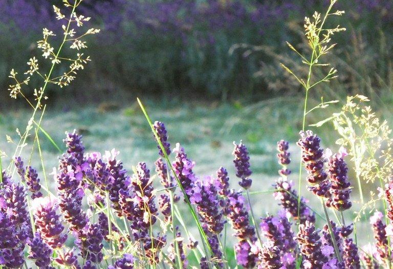 0716-LavenderGrass.jpg