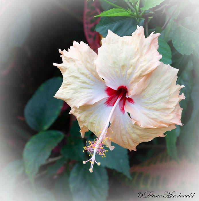 hibiscus huahine.jpg