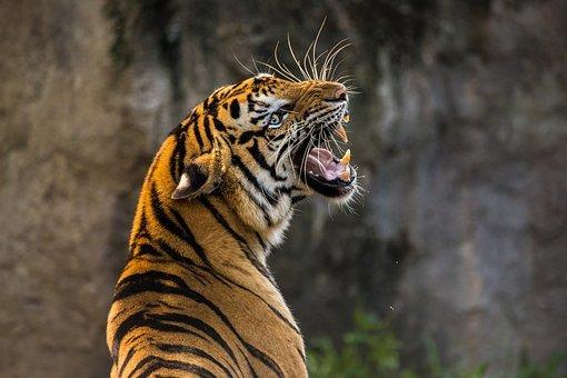 tiger-3264048__340.jpg