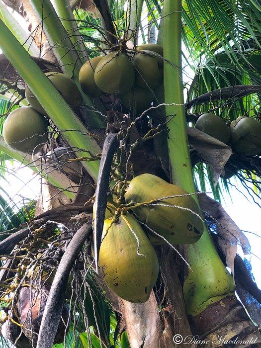 coconuts huahine.jpg