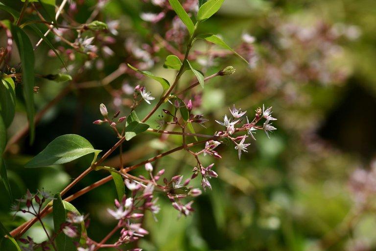 Crassula multicava succulent flower 5.jpg