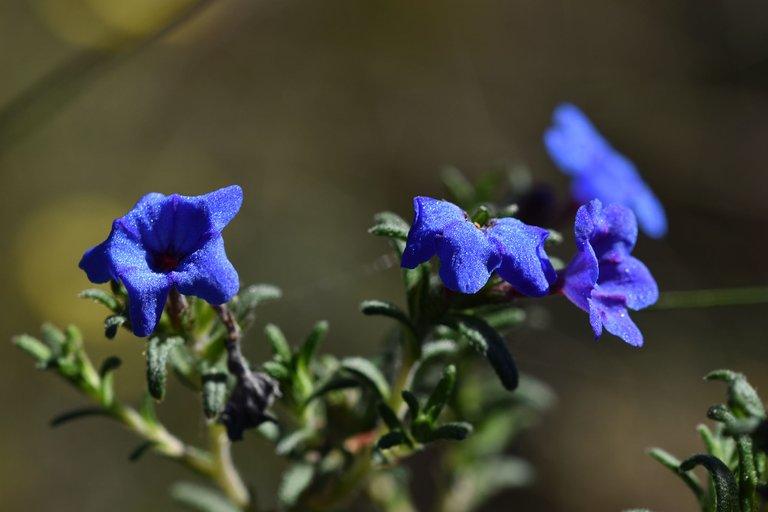 Lithodora prostrata blue wildflower 6.jpg