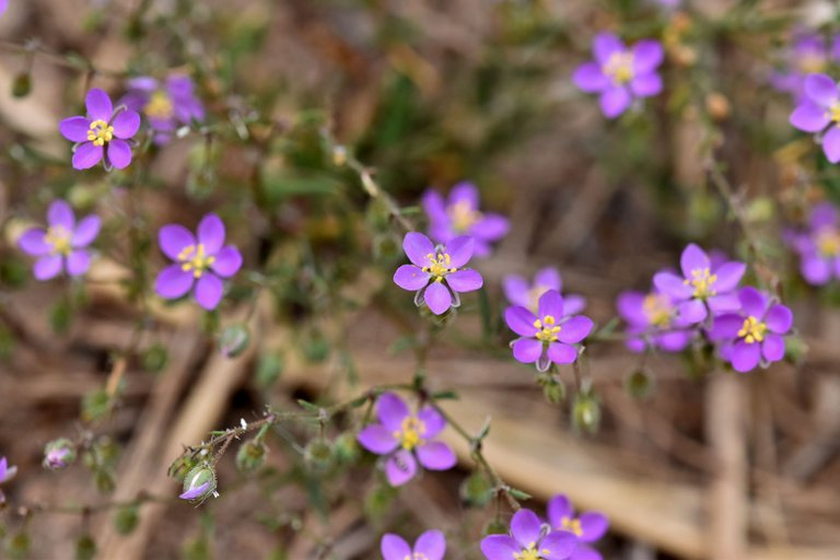 Spergularia rubra purple wildflower 1.jpg