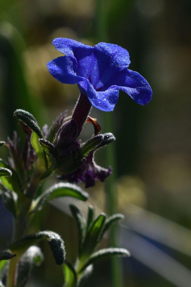 Lithodora prostrata blue wildflower 7.jpg