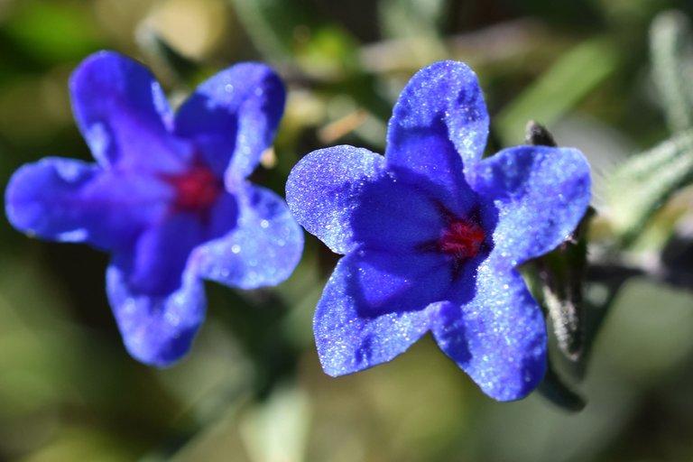 Lithodora prostrata blue wildflower 8.jpg