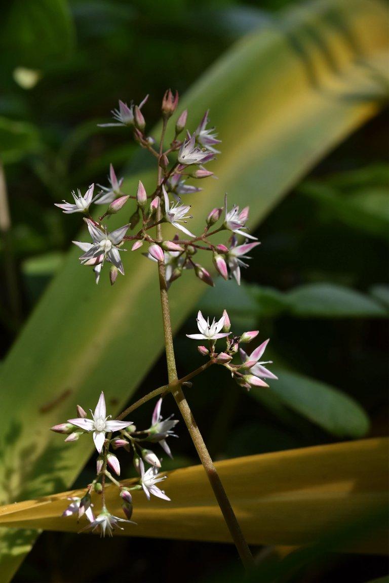 Crassula multicava succulent flower 3.jpg