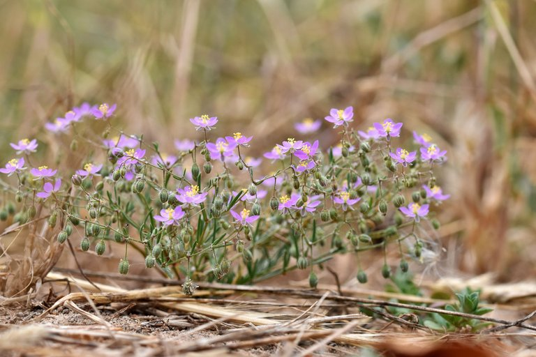 Spergularia rubra purple wildflower 5.jpg