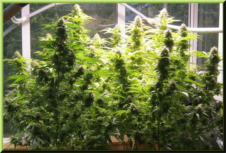 Canabis plants 2 weeks off harvest.JPG