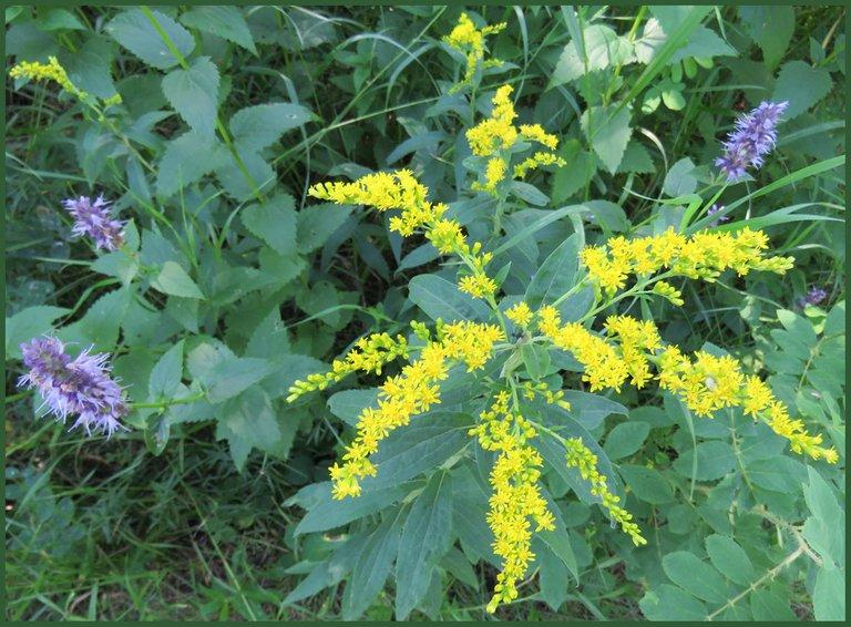 goldenrod bloom with hyssop flowers.JPG