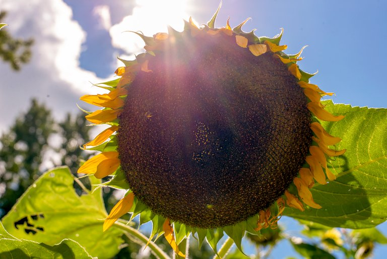 sunflower_bees_color_3.jpg
