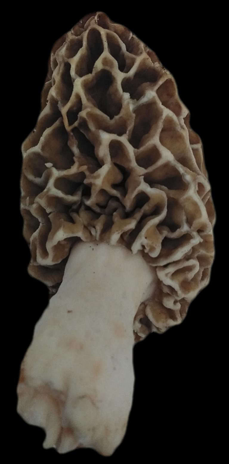 123_a_morel_mushroom_2.png
