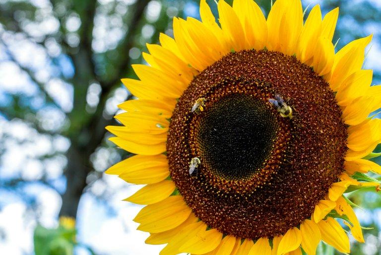 sunflower_bees_color_4.jpg