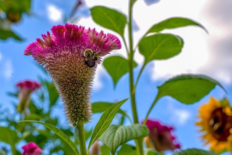 cockscomb_bees_color_1.jpg