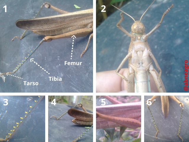 Orthoptera partes 3.png