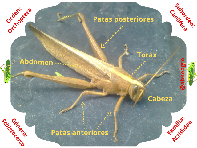 Orthoptera partes 1.png