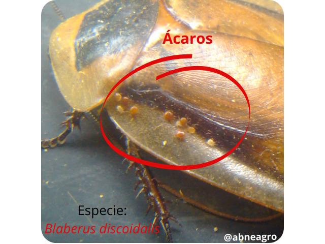 Blattodea ácaros.png