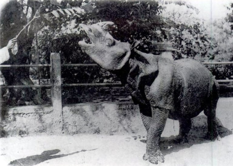 rinoceronte de java.jpg