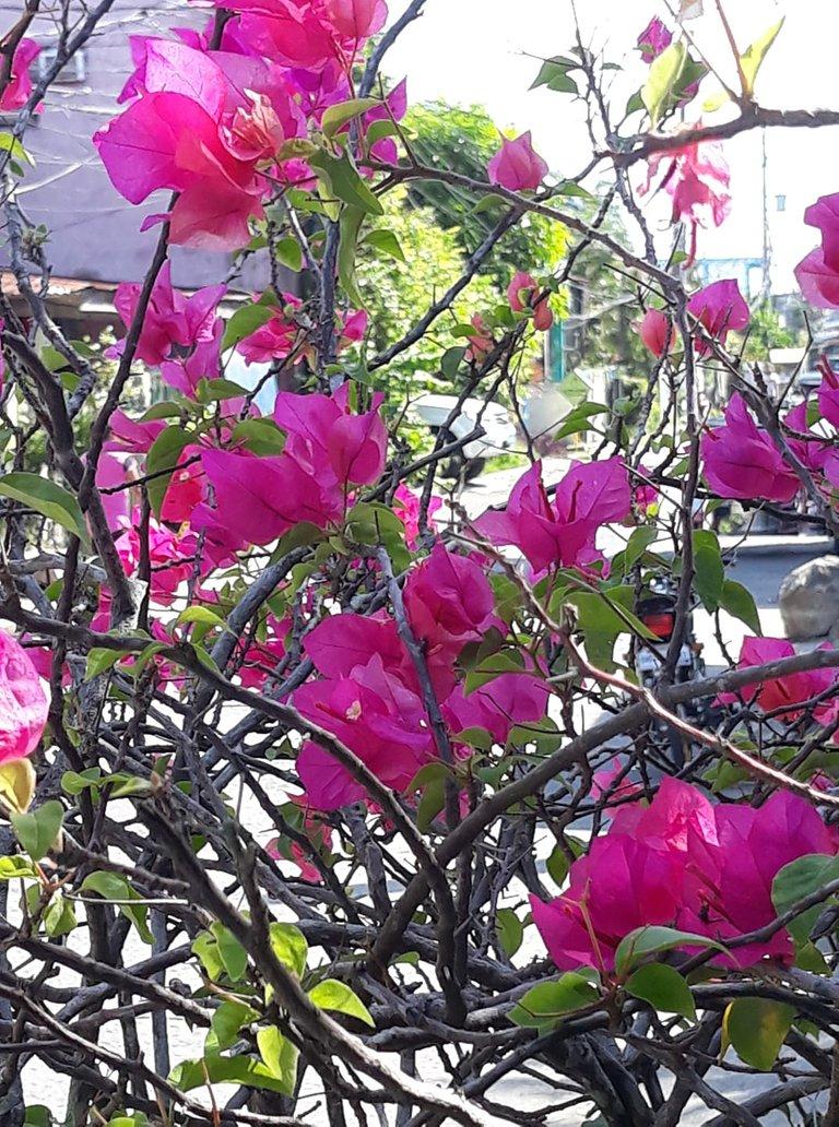 flowers bougainvillas.jpg