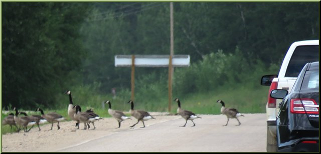 cars stop as geese take their mature goslings across road.JPG