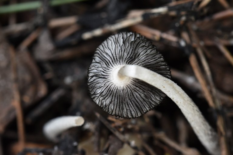 white mushrooms decay 4.jpg