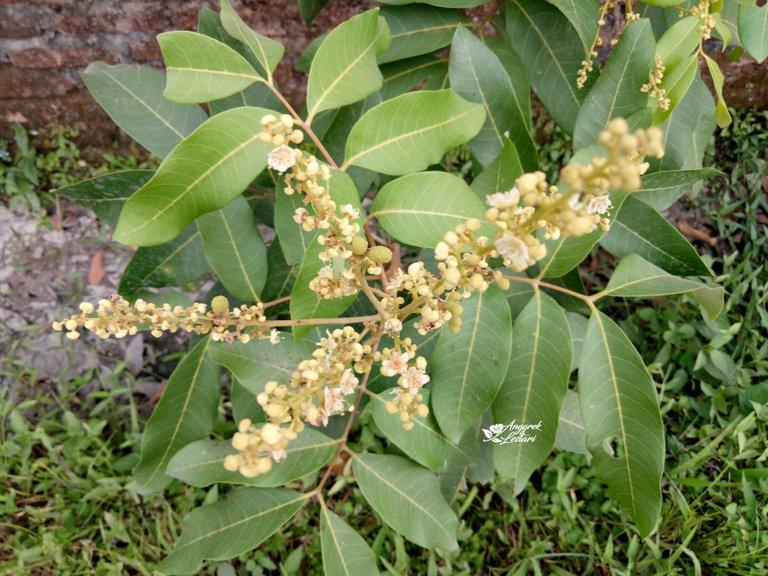 Dragon Eye Fruit Plant3.jpg