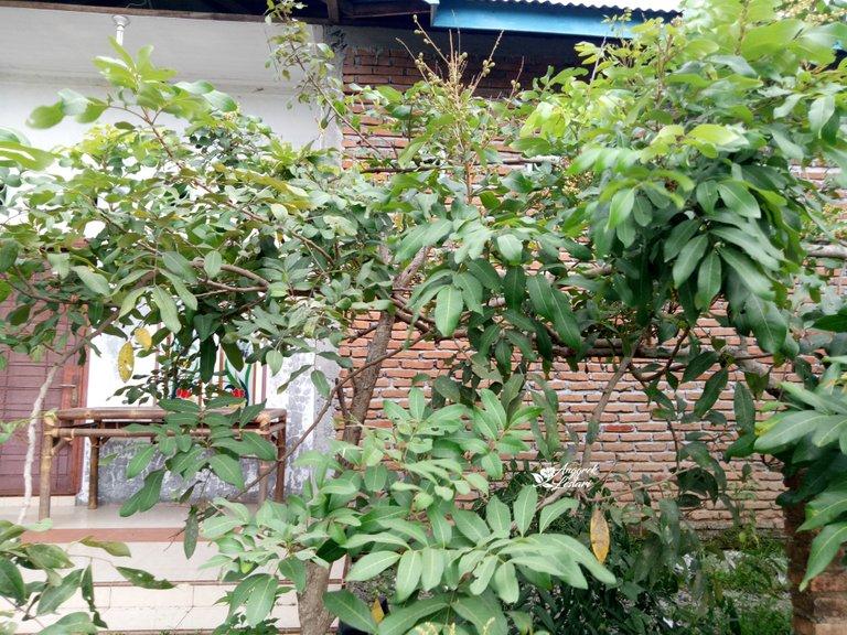 Dragon Eye Fruit Plant4.jpg