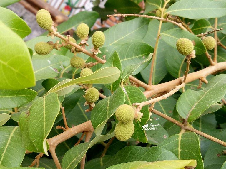Dragon Eye Fruit Plant2.jpg
