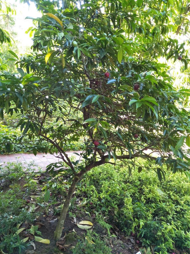 7 Phaleria Macrocarpa 1.jpg