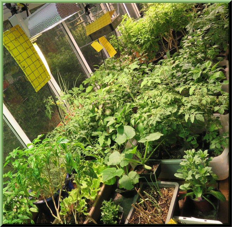 overview of plants in sun room under lights.JPG