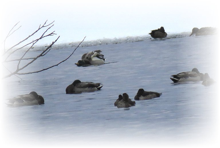 ducks on icy water 1 doing a funny stretch.JPG