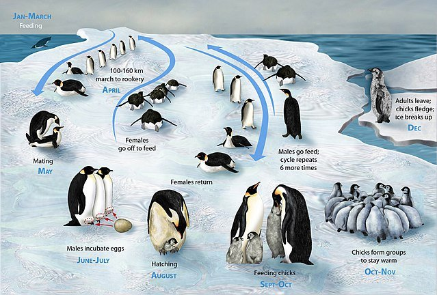The life-cycle of the emperor penguin