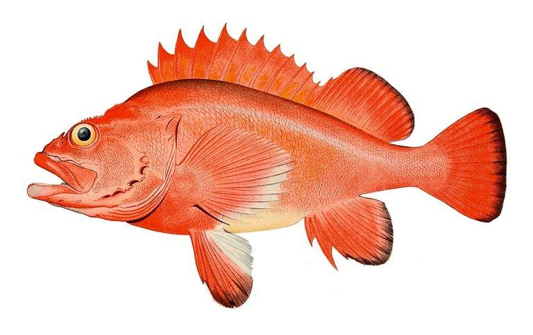 redfish on Pixabay