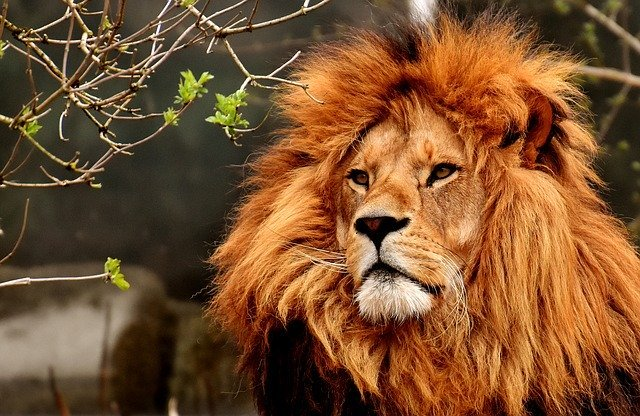 lion40k.jpg