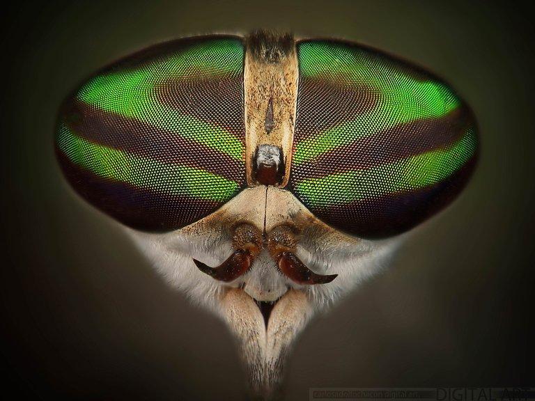 Tábano (Dicladocera nubipennis).jpg