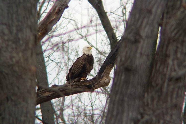 Bald Eagle mason neck state park vastateparksstaff 2.0.jpg