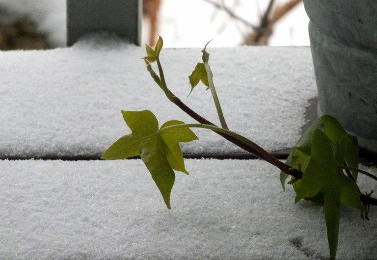 0183-SnowIvy.jpg