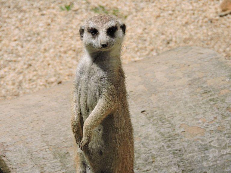 meerkat-2989902_1920.jpg