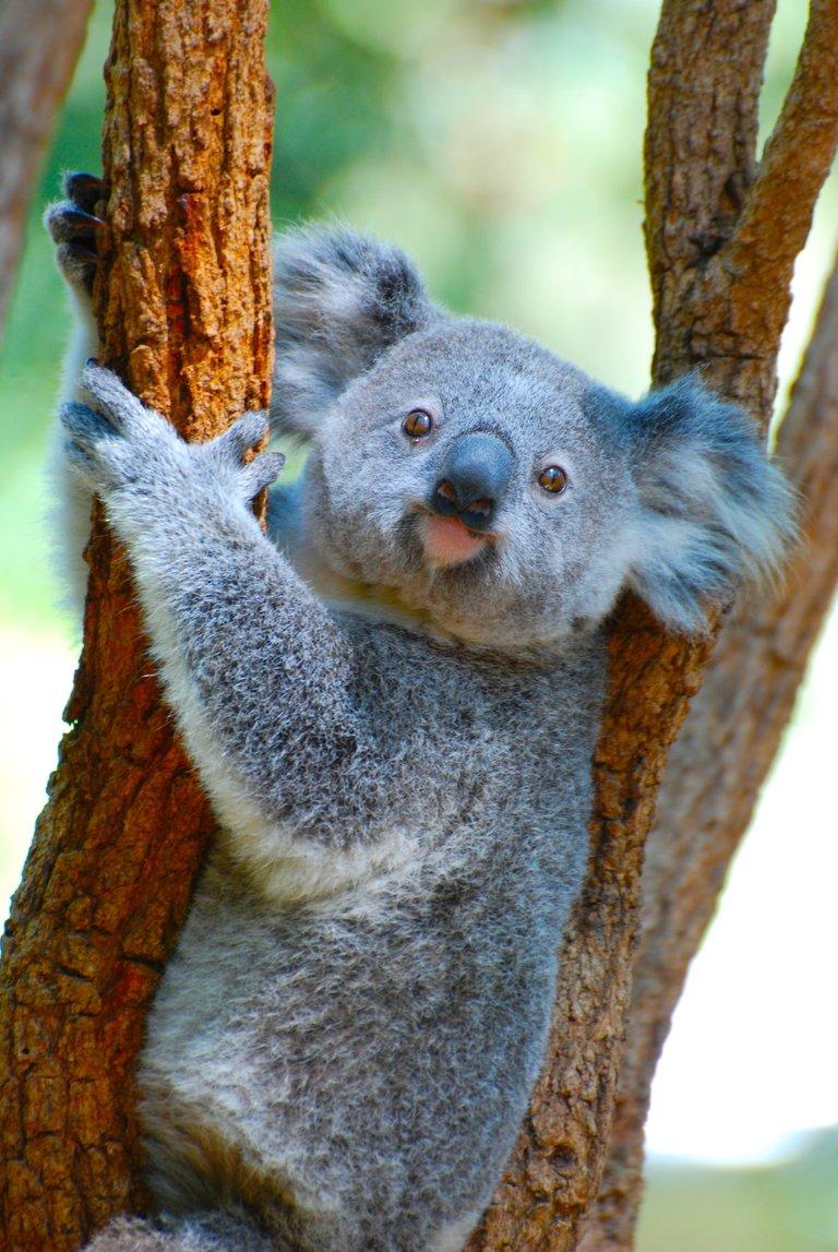 koala.jfif
