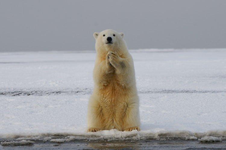 oso polar.jfif