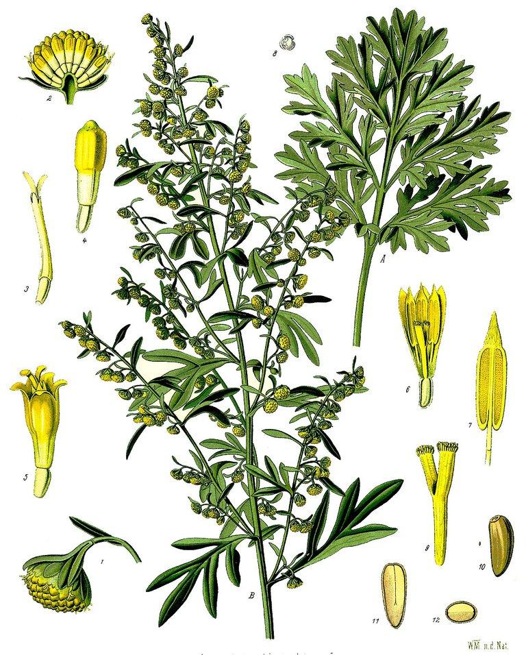1200px-Artemisia_absinthium_-_Köhler–s_Medizinal-Pflanzen-164.jpg