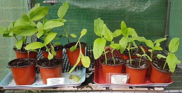 Sunflower pots. 2021.jpg