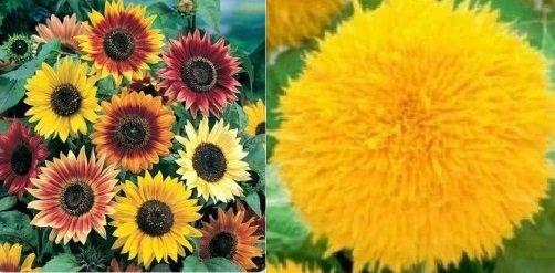 Autumn Sunflowers and Teddy Bear 2021.jpg