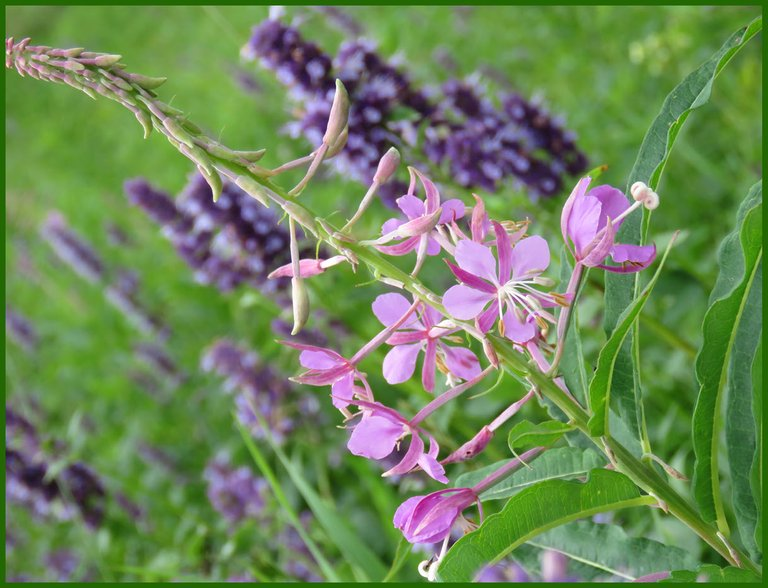 close up fireweed bloom with hyssop in the background.JPG