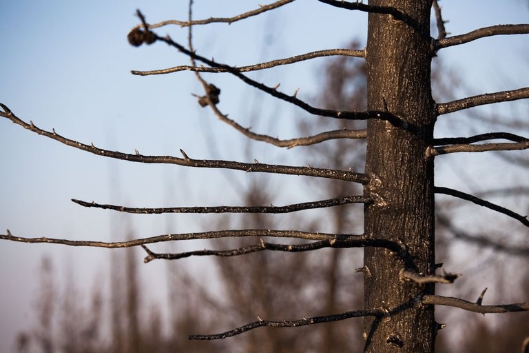 Burned_forest_2021_by_Victor_Bezrukov-6.jpg