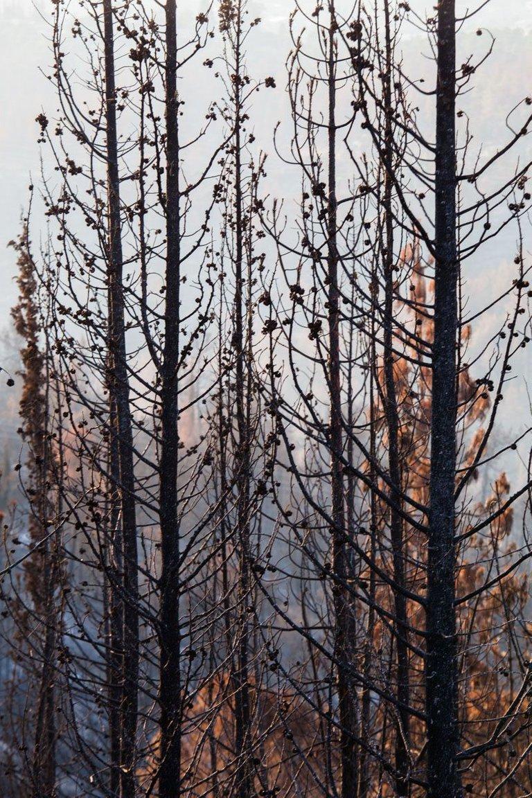 Burned_forest_2021_by_Victor_Bezrukov-7.jpg