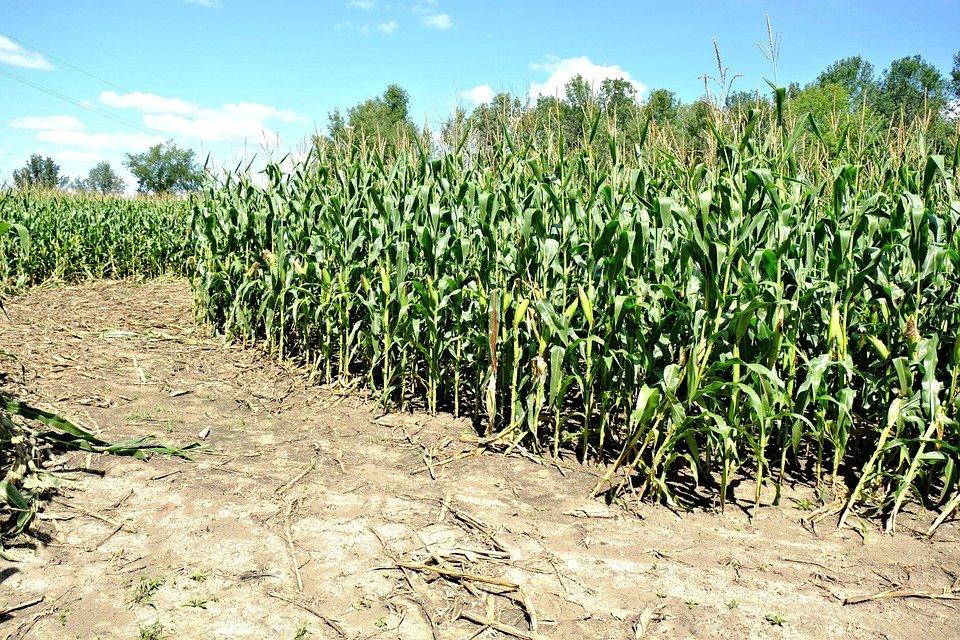 Hemp Farmers Opt for Educational Hemp Maze for Fall
