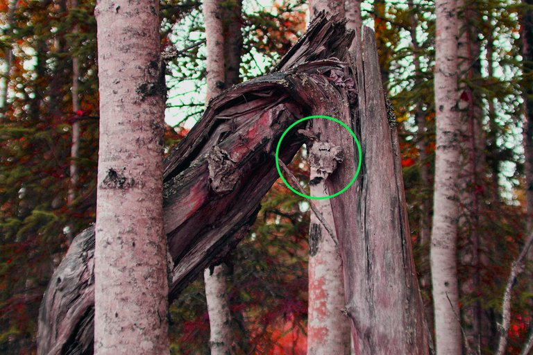 DSC_8219 donkey head tree circled resized.jpg