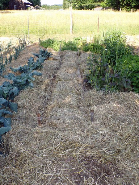 Big garden  carrots replanted and mulched crop June 2020.jpg