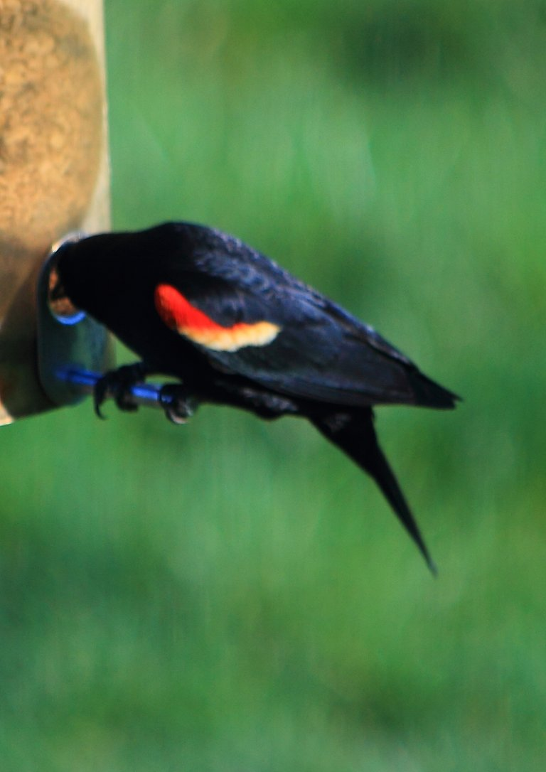 Red-winged Blackbird PFW20-0017.JPG