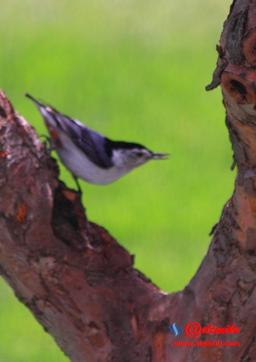 White-breasted Nuthatch PFW21-0118.JPG